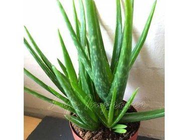 Aloe Veranın Zayıflamaya Etkileri